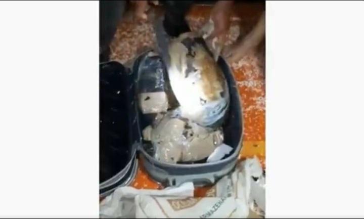 43 quelônios enrolados em fita adesiva e escondidos em malas são resgatados no interior do Amazonas